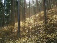 焼森山のミツマタ群生地へラスト - 光の音色を聞きながら Ⅳ