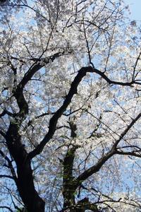 桜日和1 - はーとらんど写真感