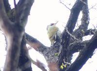 小雨の公園でアオゲラ♪・・・日野 - 浅川野鳥散歩