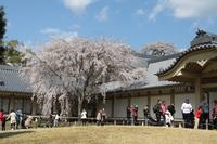 醍醐寺の花見 #3 - 浜千鳥写真館