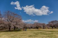 昭和記念公園の桜の園 - あだっちゃんの花鳥風月
