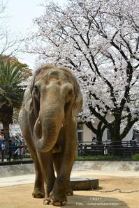 ゾウと桜 - 動物園でお散歩
