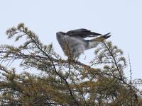 オオタカ - こんな所に野鳥が