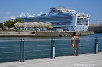 桜と豪華客船『そうだ 横浜、行こう』 - 写愛館