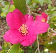 雪椿咲く庭… - 侘助つれづれ
