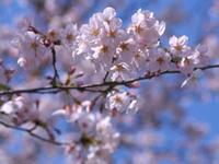 桜だより平野神社2 - Blue Planet Cafe  青い地球を散歩する
