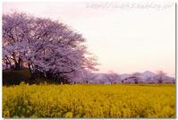 藤原宮跡の桜と菜の花、白橿さくら祭り - 「O.D.G.」 Powered by LH645