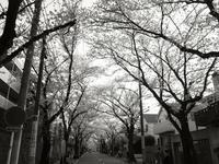 あざみ野で桜のトンネル - S w a m p y D o g - my laidback life