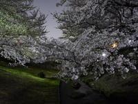 夜桜 - tokoya3@