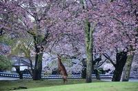 東大寺の花まつりと奈良公園散策 - 峰さんの山あるき