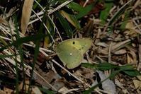 ■モンキチョウとモンシロチョウ19.4.8 - 舞岡公園の自然2