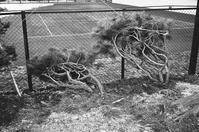 雪に耐える松と倒木の根 - 照片画廊