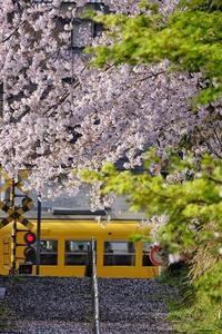 ★北勢線と桜 - 一写入魂