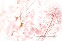 **桜にちゅっ** - こころいろ*photo