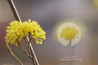 春の花たち*Ⅵ -サンシュユ- - It's only photo 2
