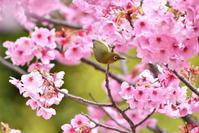 メジロと陽光桜 - 季節の映ろひ