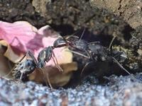 えさを口移しするクロオオアリCamponotus japonicus - 写ればおっけー。コンデジで虫写真