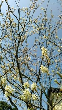 我が家のジューンベリーと桜いろいろ - つれづれなるままに・・・ふくろうみーの庭