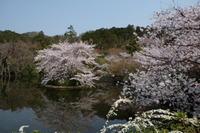 石庭のイメージ一転?桜の園、龍安寺 - カマクラ ときどき イタリア