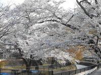 京都市 琵琶湖疏水&毘沙門堂の桜 - 転勤日記