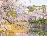 小田原城址公園の桜が満開でした - エーデルワイスPhoto