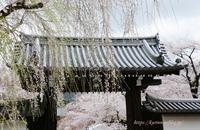 京都醍醐寺の桜 - miyorinの秘密のお庭