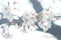 桜さんぽ②神社で見た桜 - みちくさのなか