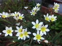 水仙文目 - だんご虫の花