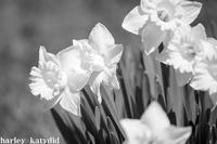 水仙 - harley-katydid
