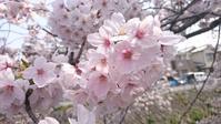 ひみつの京都「桜」スポット My secret spot for enjoying the spring - latina diary blog