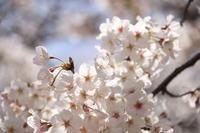 桜🌸見 - Dearest vita
