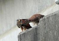 チョウゲンボウのポイントでその2(子づくり準備) - 私の鳥撮り散歩