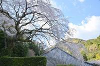 寺の桜(一)楞沢寺 - 123!