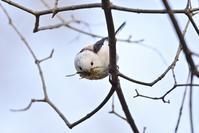 シマエナガ巣材集め - やぁやぁ。