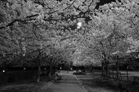 夜桜見物 - ON THE CORNER