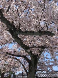 あやうい桜 - モン・コト