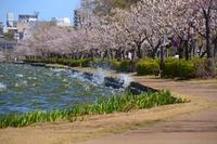 千波湖の桜 - ひな日記
