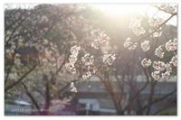 桜日記② - Yuruyuru Photograph