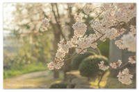 桜日記③ 土曜日の夕方。 - Yuruyuru Photograph
