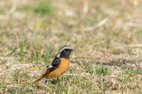 ジョウビタキを間近で観察できました - ひとり野鳥の会