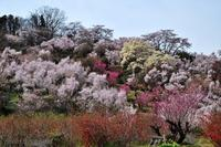 みちのく花見山春景色 - みちのくの大自然