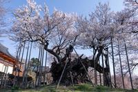 孤高の桜 - 山高神代桜 - - がらくーた**