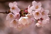 高岡古城公園の春の宴 - gracefully heart