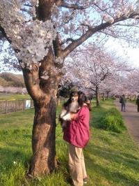 桜♪さーくらー♪ - ミントは あくびくんと一緒