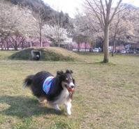 桜もきれい♪やどりぎドッグランv - ミントは あくびくんと一緒