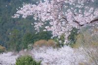 桜吹雪 候う。。。3 - 気ままにお散歩