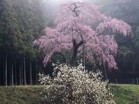 栃木しだれ桜巡り大柿 龍興寺1 - 光の音色を聞きながら Ⅳ