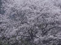 栃木しだれ桜巡り大柿 龍興寺2 - 光の音色を聞きながら Ⅳ