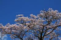 桜晴れ - ♪一枚のphotograph♪
