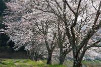 焼肉食べ放題 桜は撮り放題 - スポック艦長のPhoto Diary